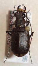 Cicindelinae Cicindela duodecimguttata Canada #65 Tiger Beetle Insect