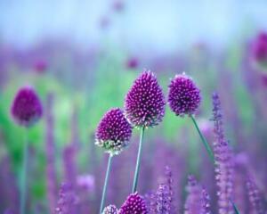 Allium Sphaerocephalon 50 Bulbs per pack 60 cm 'Drumstick'