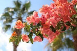 Bougainvillea Rosenka 6 unbewurzelte Steckhölzer aus dem Garten Spaniens