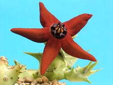 1 TALEA Orbea araysiana (YEMEN) ** STAPELIA ORCHID CACTUS HUERNIA PSEUDOLITHOS