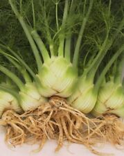 Organic - Vegetable - Fennel Zefo Fina - 200 Seeds