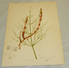 1901 Antique COLOR Prang Print/EQUISETUM ARVENSE/Corn Horsetail Flower