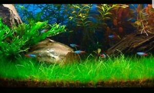 Water Plant Grass Seeds for Aquarium / Fish Tank / Pond 50+ SEEDS
