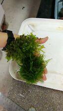 Willow moss and monosolenium tenerum-Pelia, live aquarium plant, TWO bags,