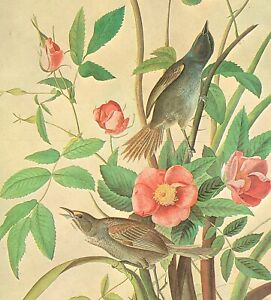 John James Audubon Birds SEASIDE SPARROW Original Vintage Art Book Plate