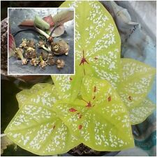 Caladium 1 Tuber, Queen of the Leafy Plants, ''Luengsongmed'' Tropical From Thai