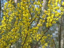 Acacia rigens ( Needle Wattle) in 50mm forestry tube Native plant