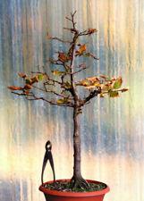 Bonsai-Bäume aus Hainbuchen (Carpinus)