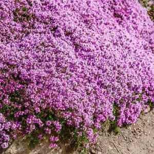 2000 Creeping Thyme Flower Seeds Thymus Serpyllum Herb (Ground Cover) + Gift