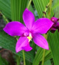 *UNCLE CHAN* ํPurple Spathoglottis Ground Bulb Orchid Flower Fresh Beauty e C737