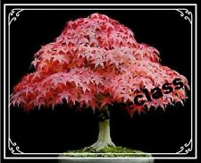 20 Red color Japanese Maple Tree Bonsai Seeds Acer Palmatum
