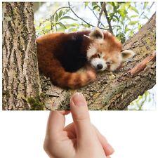 "Lesser Red Panda Tree Bear Small Photograph 6"" x 4"" Art Print Photo Gift #14217"