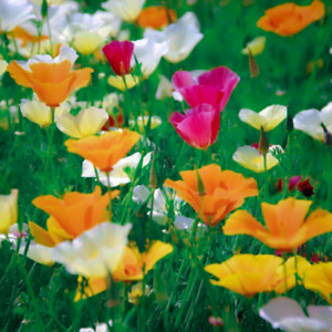 Eschscholzia californica (California Poppy) Seeds - Wildflower Meadow Garden Mix