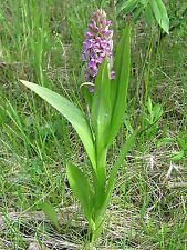 Orchis Seeds 0.1 Grams (Above 5,000 Seeds) Pack