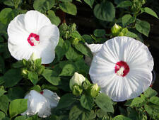 "HARDY HIBISCUS - LUNA WHITE - 2 PLANTS - 3"" DEEP PERENNIAL POT"