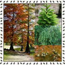 Bald cypress - Taxodium Distichum (15+ viable seeds per package)
