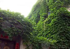 JapaneseCreeper Climber perennial seed 40 seeds Boston ivy Grape ivy woodbine