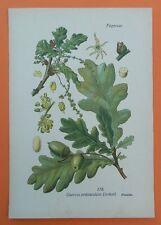 Deutsche Eiche Stieleiche  THOME Lithographie 1890  Quercus pedunculata