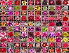 """ADENIUM """"Identified By Color 100 Types"""" 10,000 Seeds RARE!!"""