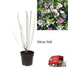 50cm Tall Hibiscus Plant Tricolour Unusual 3 Coloured Flowering Hardy Perennial