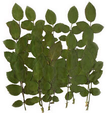 pressed flowers, rose leaves foliage 20 pcs for floral art craft card making