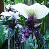10X Funny rare bat tacca chantrieri whiskers flower seeds garden plants cu