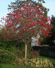 Rowan Tree Bare Root Sorbus Aucupari Mountain Ash Ornamental Outdoor Plant