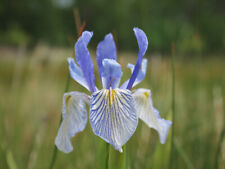 Iris missouriensis (Iris Montana) 5 seeds