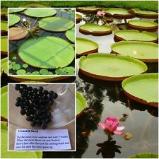 Victoria Amazonica 10 Seeds, Giant Water Lily, Victoria water lily, From Thai