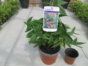 Honeysuckle Lonicera Henryi Flowering Evergreen Climber Climbing Plant 1.5L Pot