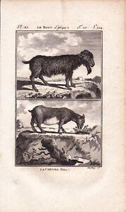Gravure XVIIIe Bouc d'Afrique Chèvre Naine Buffon Capra Hircus Goat 1790