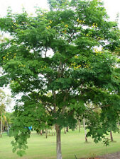 Leopard Tree – Brazilian Ironwood (caesalpinia ferrea) 6 Reliable Viable Seeds