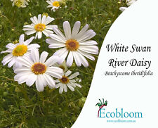 Swan River Daisy Wildflower Seed (Brachyscome iberidifolia - White) 20 gram bag