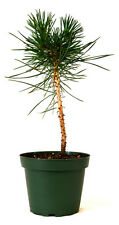 "Japanese Black Pine 4"" Pot Bonsai Starter Plant Easy To Care Indoor/Outdoor Gift"