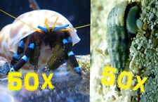 MIX MATCH!!! 50 Pack of Cerith Snails & 50 Pack of Blue Leg Hermit Crabs