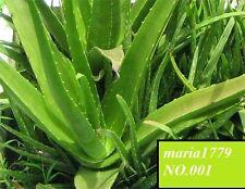 200 ALOE VERA SEEDS- Medicinal Aloe Vera, Natural Beautician
