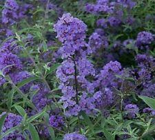 Nanho Blue Butterfly Bush - Live Plant - Shipped Over 2 Feet Tall