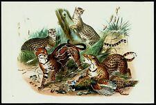 OCELOT (Leopardus pardalis), Monograph of the Felidae, by Daniel Giraud Elliot