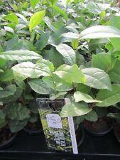 Camellia sinensis - Teepflanze - Echter Teestrauch ? Pflanze 20-30cm bis -10°C