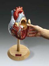 Heart Giant Heart of America Open Doors Anatomical Model   LFA #2649 *