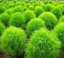 100 Summer Cypress Seeds Kochia scoparia Burning bush Organic Herbs