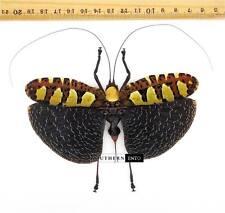 Sanaea intermedia (Female) Orthoptera A1 Malaysia Hopper Katydid