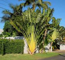 Ravenala Madagascariensis  - 10 Seeds - Madagascar Travelers Palm Tree