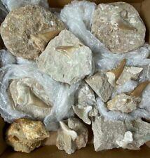 Extinct Fossilised Shark Teeth & Mosasaur - 10 piece Box Lot