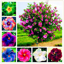 100pcs 24 Colors Giant Hibiscus Seeds Dinnerplate Hibiscus Perennial Flower