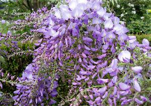 Blauregen - Wisteria - Glyzine  Sorte: Prolific (veredelte Pflanze) 80 - 100 cm