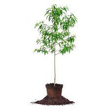 Santa Rosa Plum Tree, Live Plant, Size: 4-5 ft.