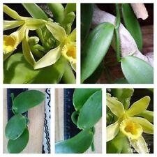 Vanilla bean Orchid -grow you own Vanilla pods. Vanilla Planifolia