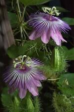Passion Flower Seeds - HAWAIIAN - Golden Lilikoi Passiflora Alata - 10 Seeds