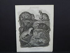 """Rees """"The Cyclopaedia"""" #08 Quadrupeds, Weasel"""